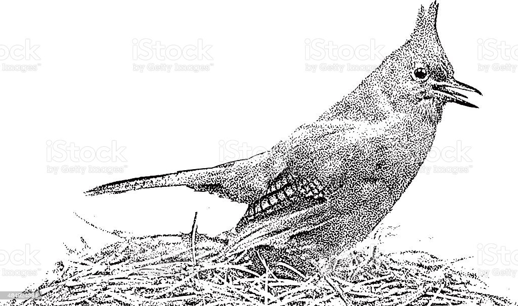 Steller's Jay on Nest, Chirping. Isolated On White vector art illustration