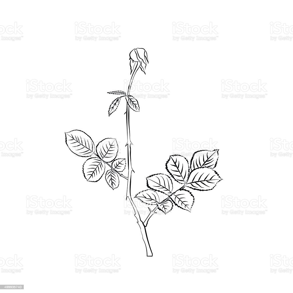 Stem and leaves of withering rose. vector art illustration