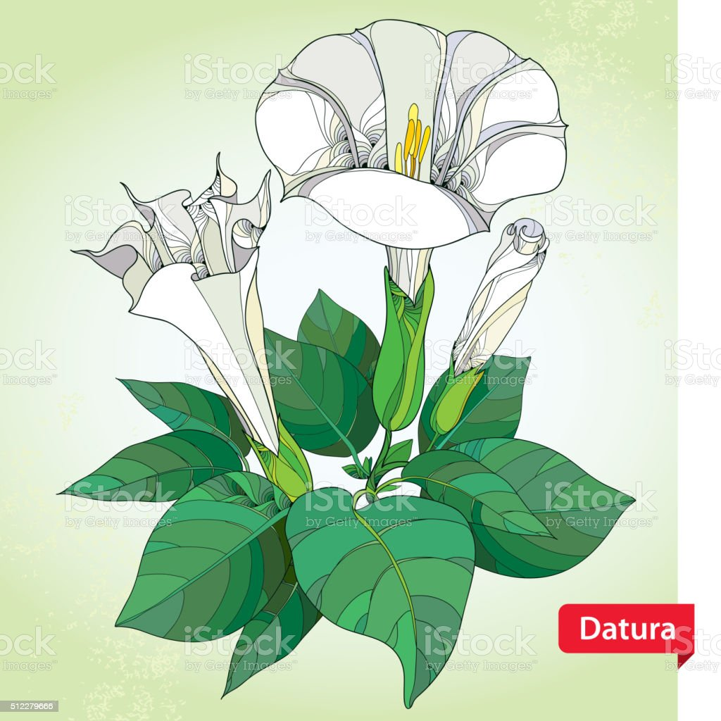 Stem with Datura stramonium or Thorn apple in contour style. vector art illustration