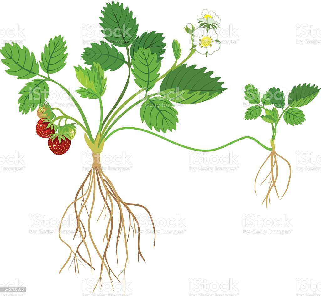 Strawberry plant vector art illustration