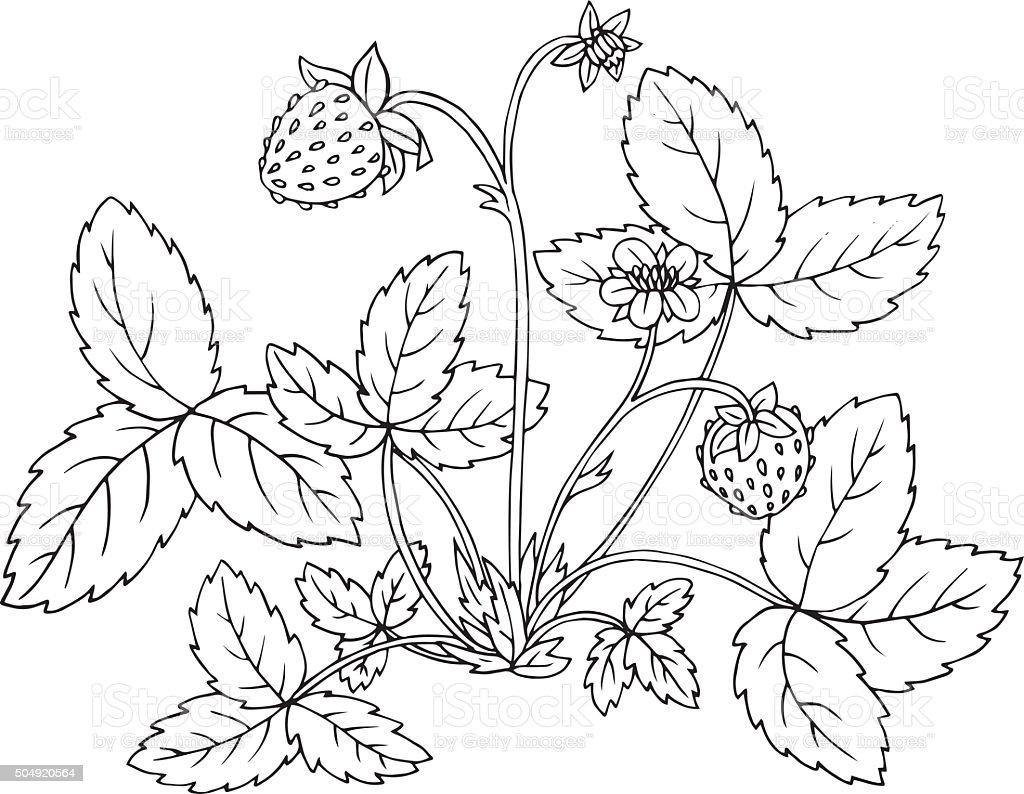 strawberry shrub with berries vector art illustration