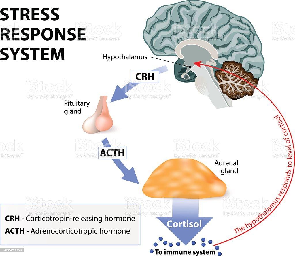 Stress response system vector art illustration
