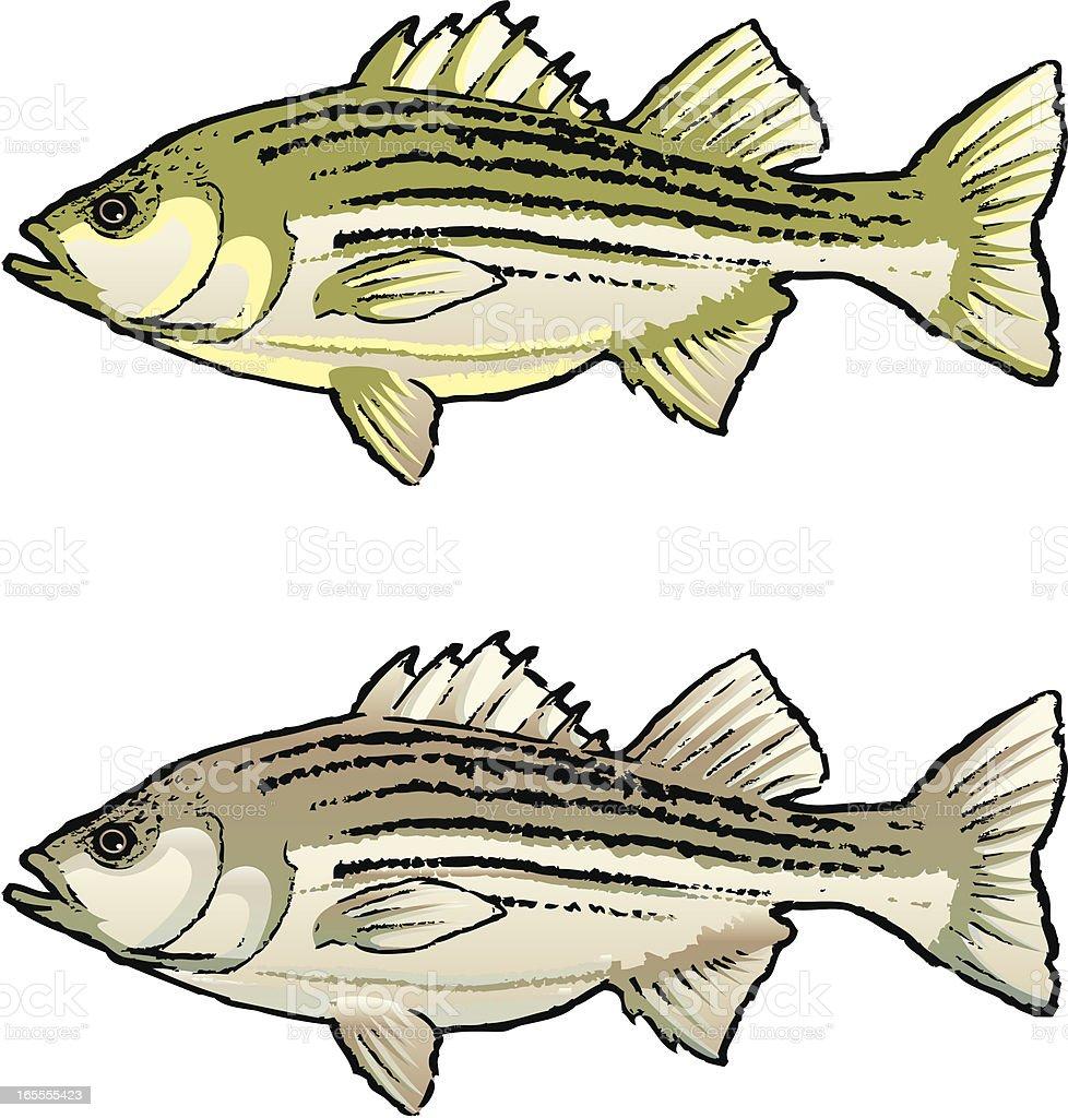 Striped Bass Fish vector art illustration