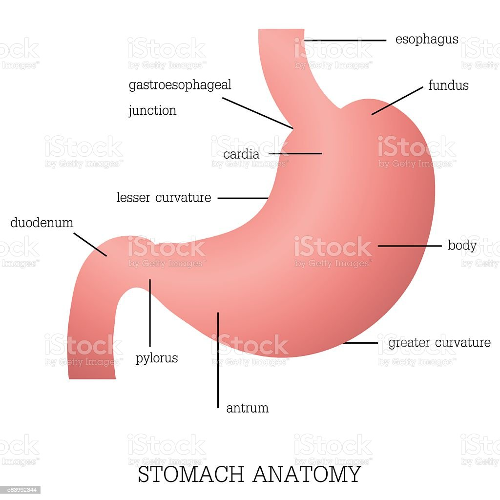 structure and function of stomach anatomy system stock vector art, Cephalic Vein