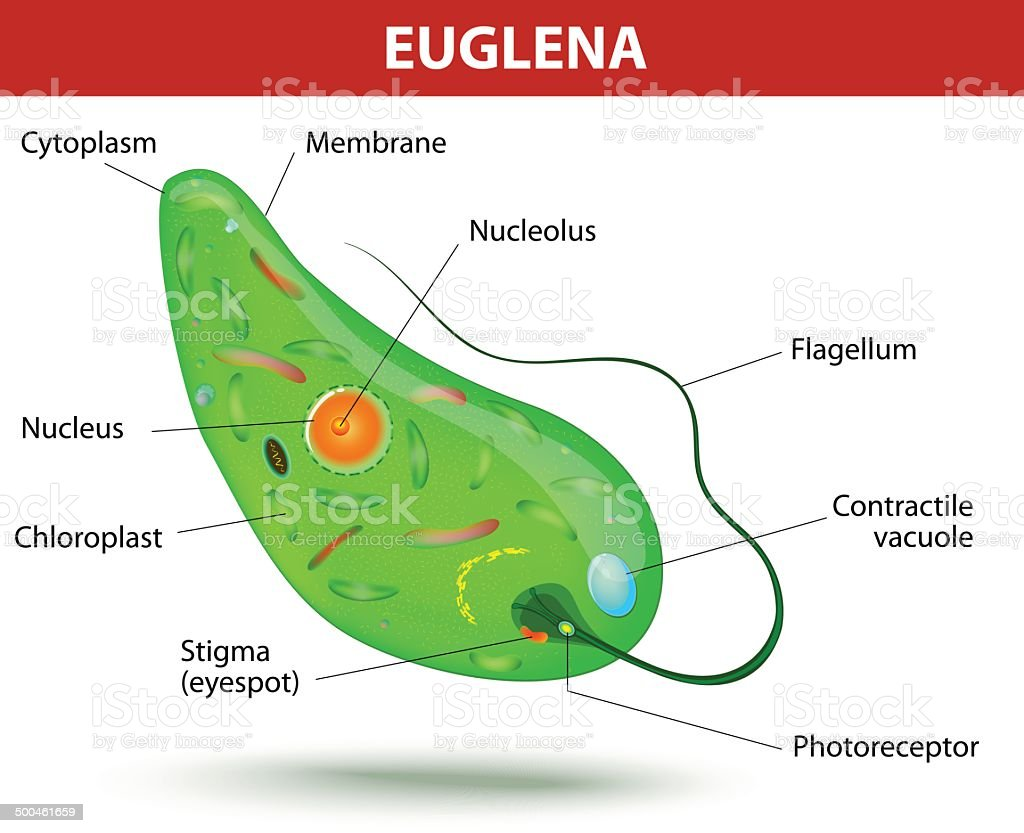 Structure of a euglena vector art illustration