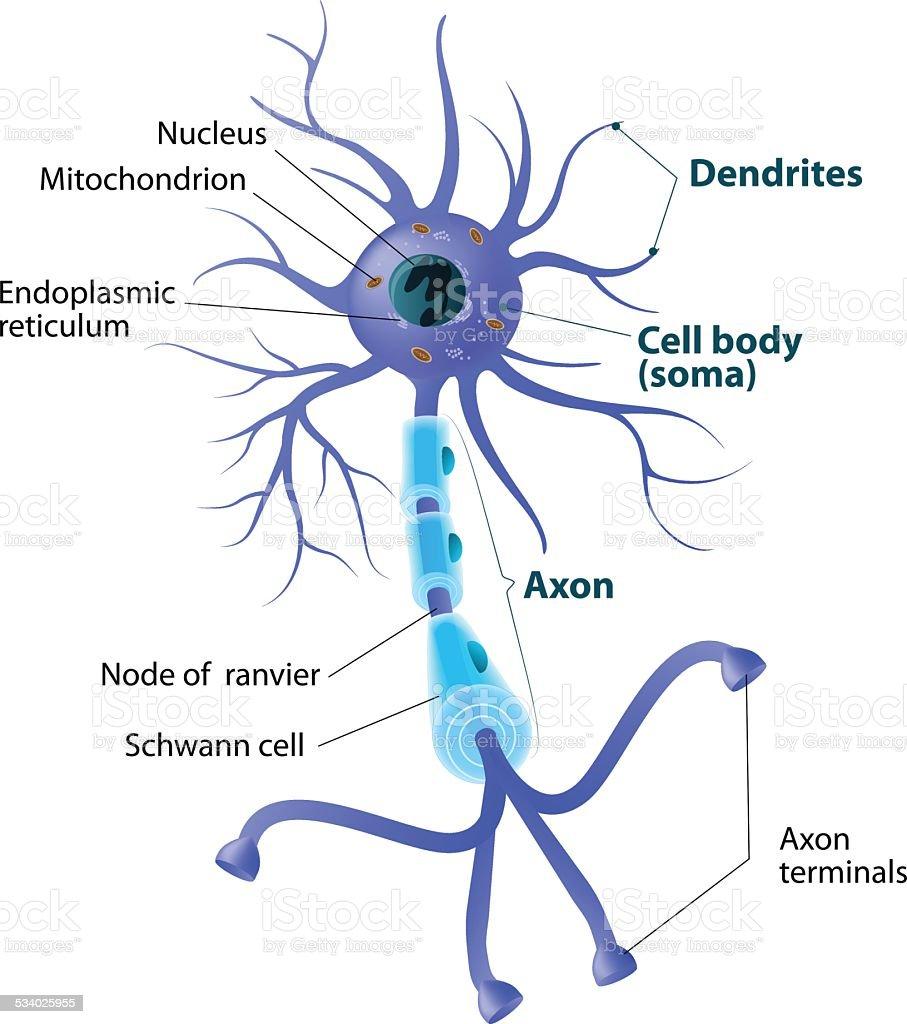Structure of a motor neuron vector art illustration
