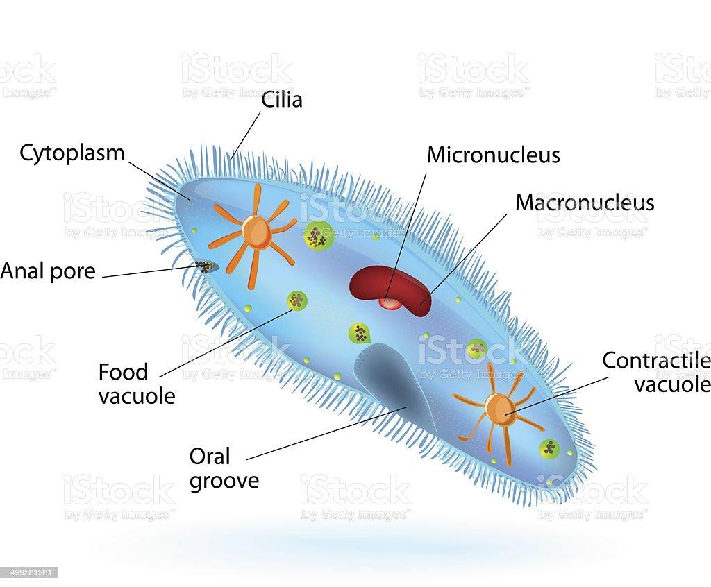 Structure of a paramecium vector art illustration