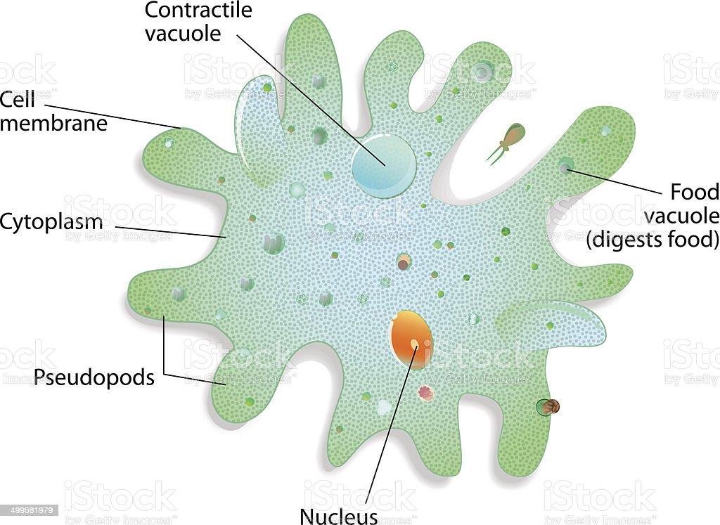 Structure of an amoeba proteus vector art illustration