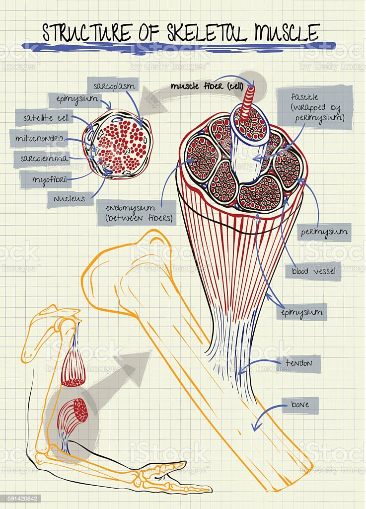 structure of human skeletal muscle vector art illustration