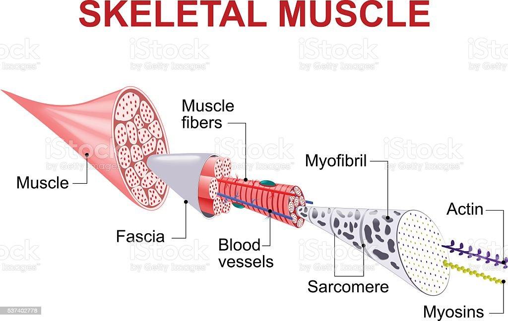 Structure of skeletal muscle vector art illustration