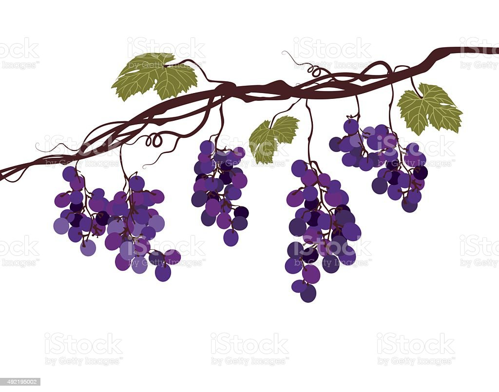 Stylized graphic image of a vine with grapes vector art illustration