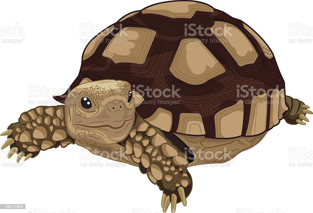 Sulcata tortoise vector art illustration