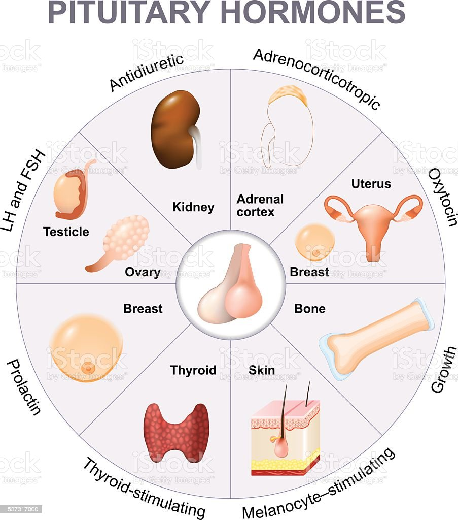 Summary hormones secreted from the pituitary gland vector art illustration