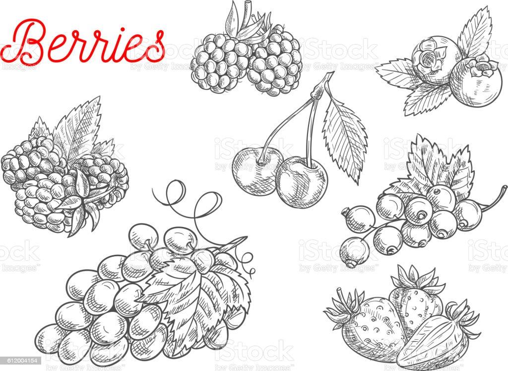 Summer fruit and berry sketch for food design vector art illustration