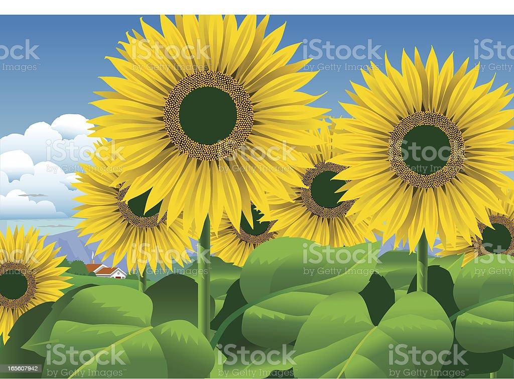 Sunflower Field royalty-free stock vector art