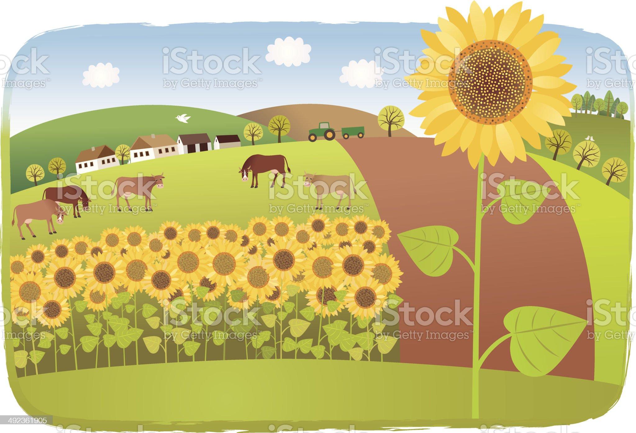 Sunflower fields royalty-free stock vector art