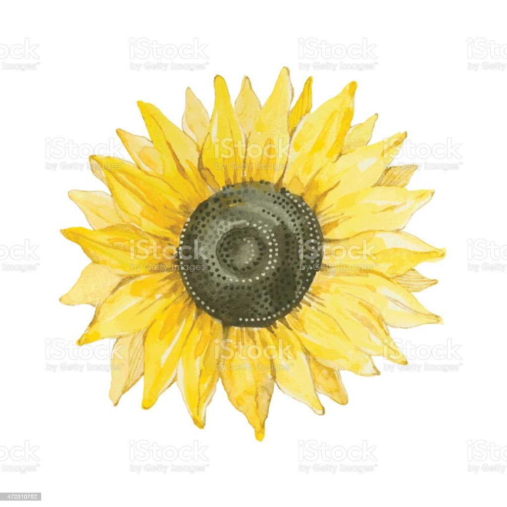 Sunflower isolated on a white background.Vector, watercolor hand drawn  illustration. vector art illustration