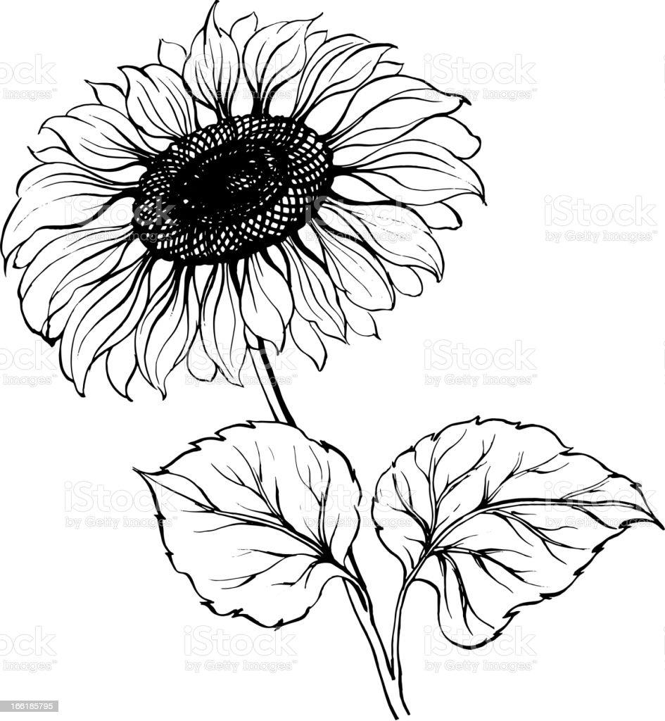 Sunflower isolated over white vector art illustration