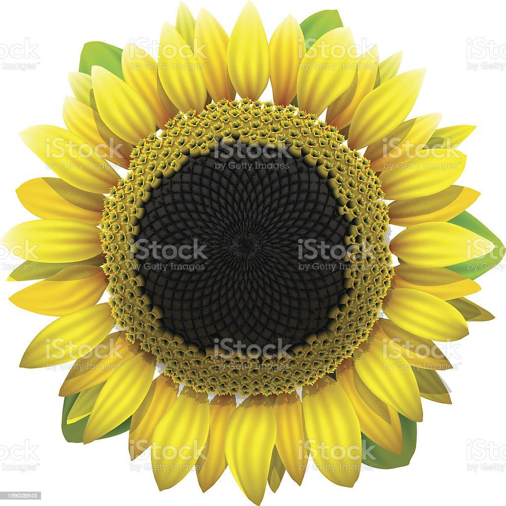 Sunflower on white background, vector illustration. royalty-free stock vector art