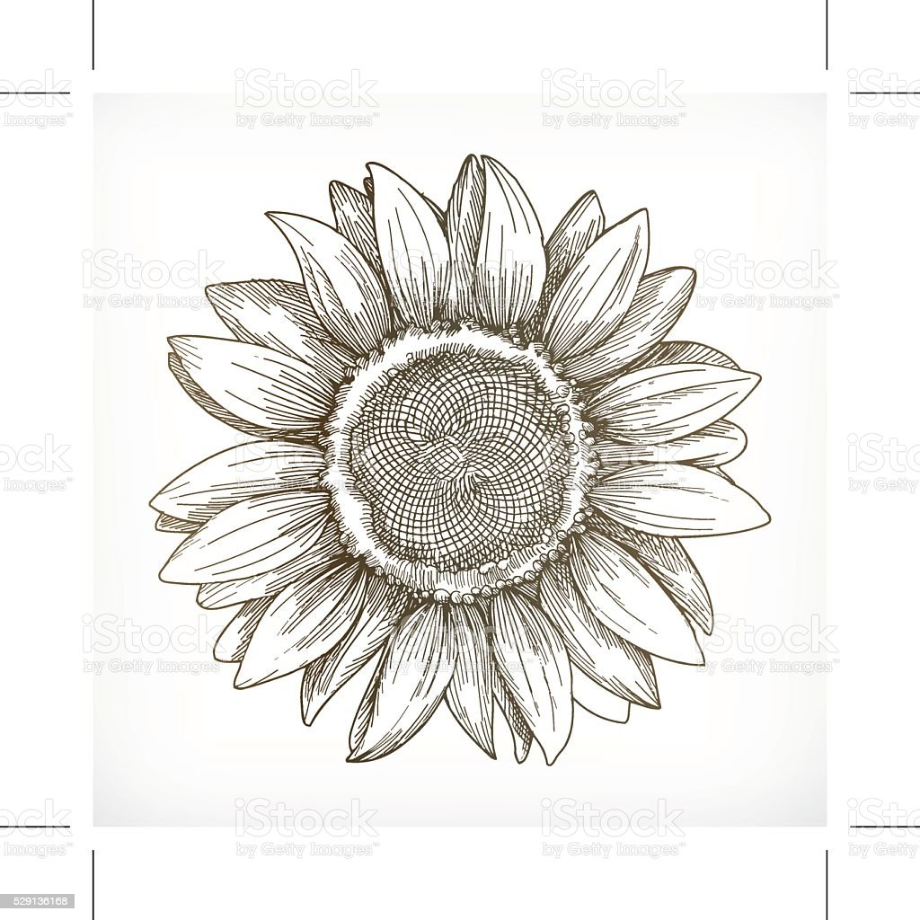 Sunflower sketch, hand drawing vector art illustration