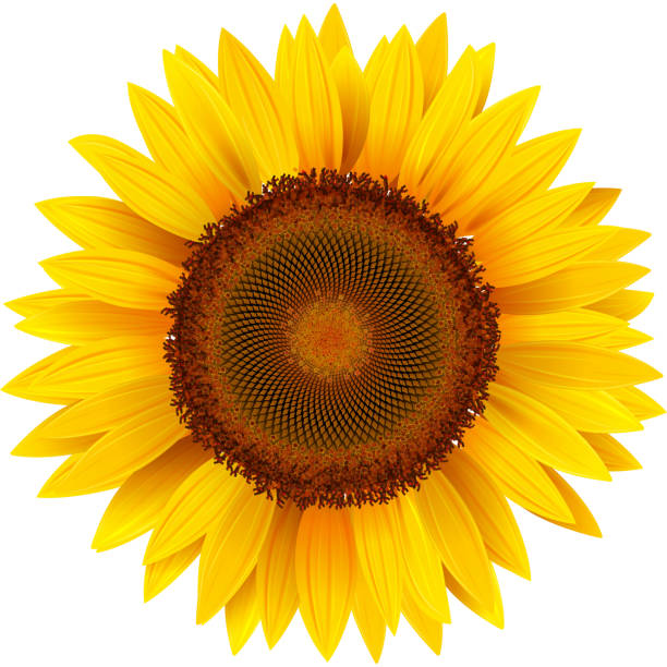 Sunflower Clip Art, Vector Images & Illustrations - iStock