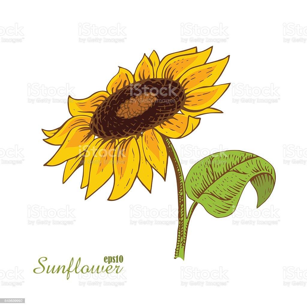 Sunflower. Woodcut style. Vector illustration. vector art illustration