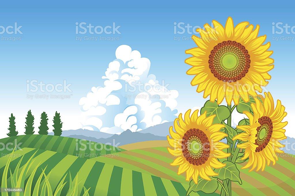 Sunflowers in Rural Scene royalty-free stock vector art