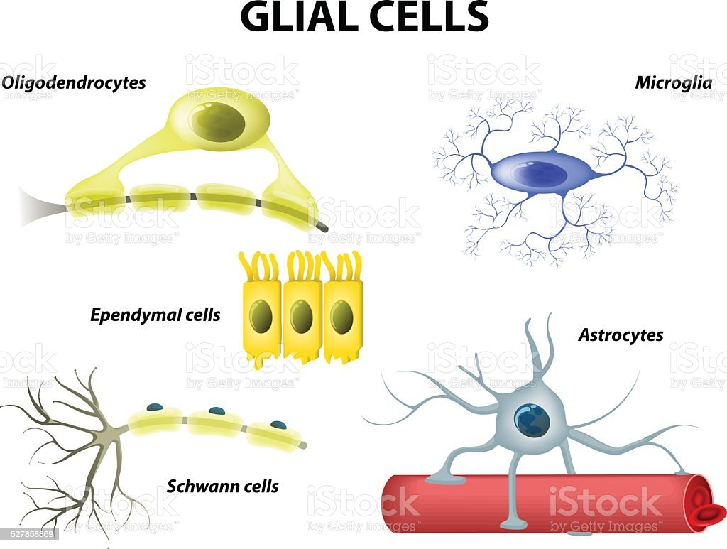 Supporting Cells. Neuroglia or Glial cells vector art illustration