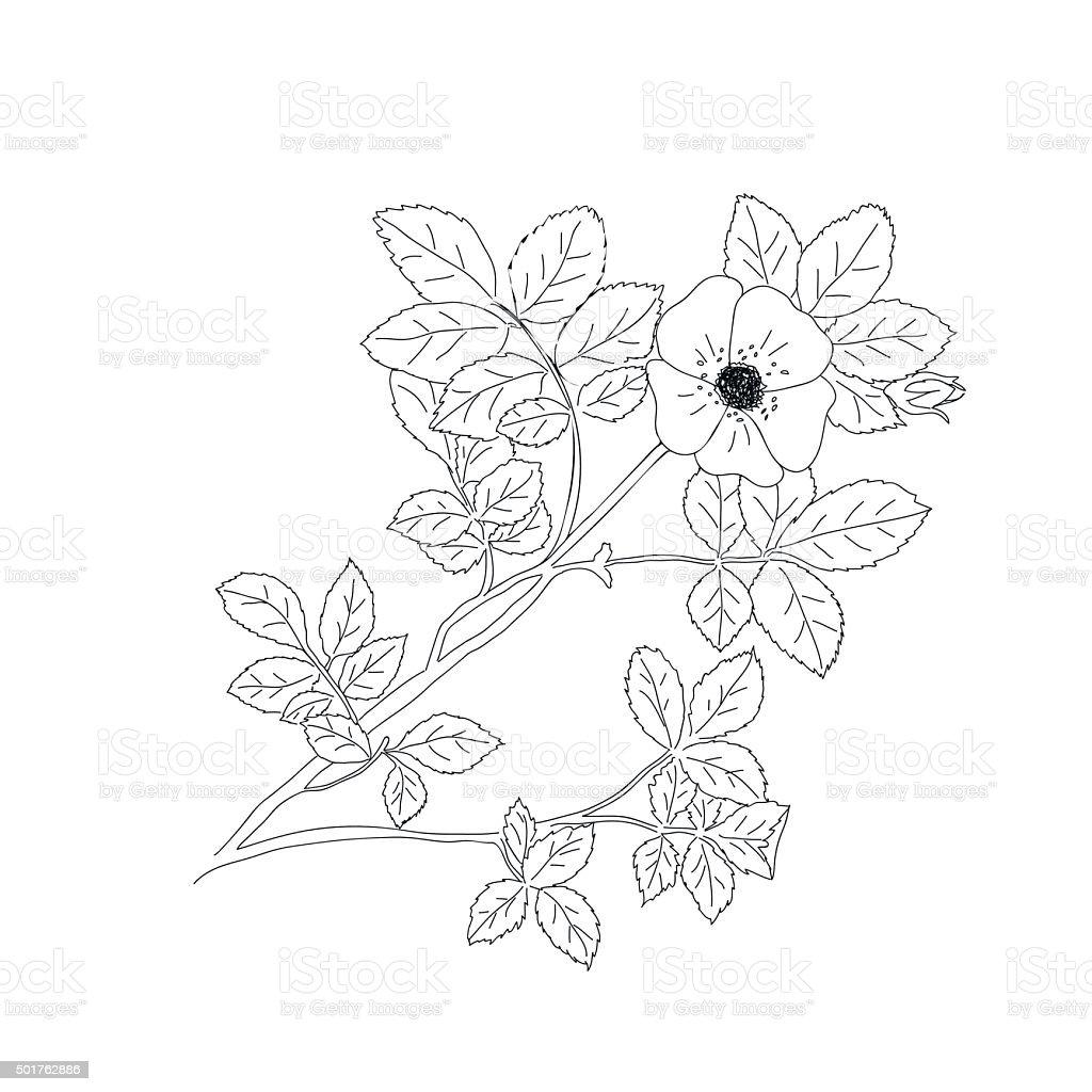 Sweet briar or Rosa rubiginosa vector art illustration