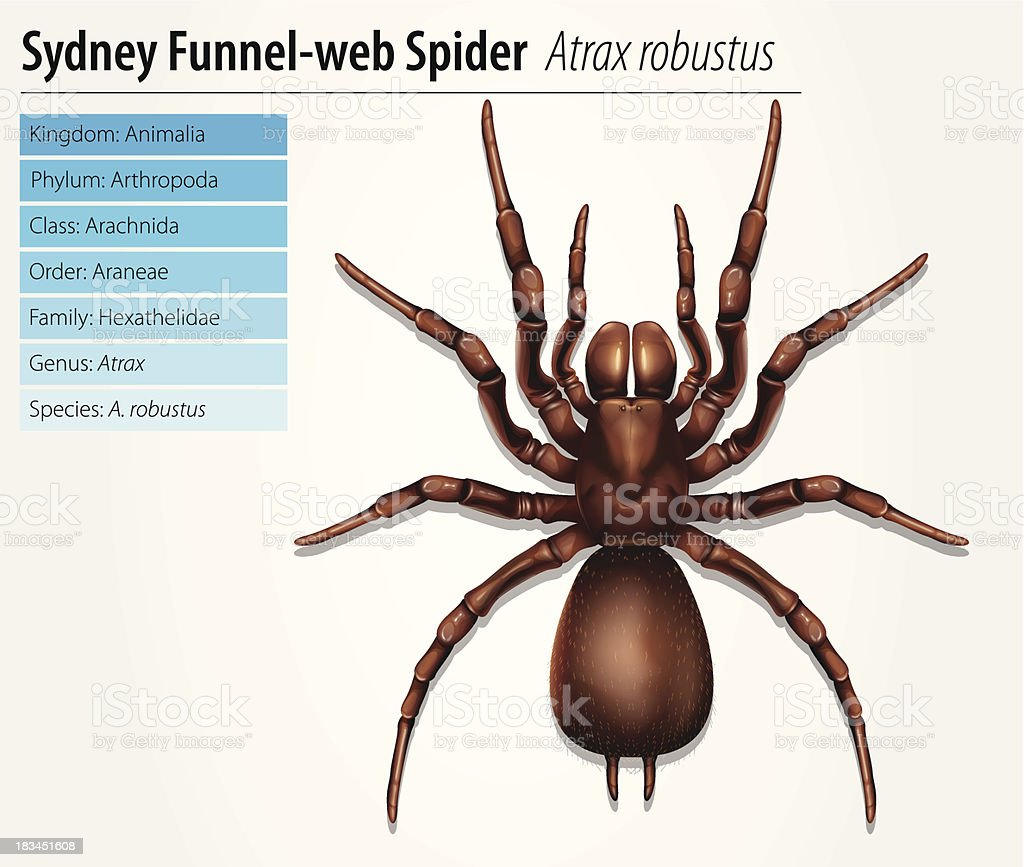 Sydney funnel-web spider royalty-free stock vector art