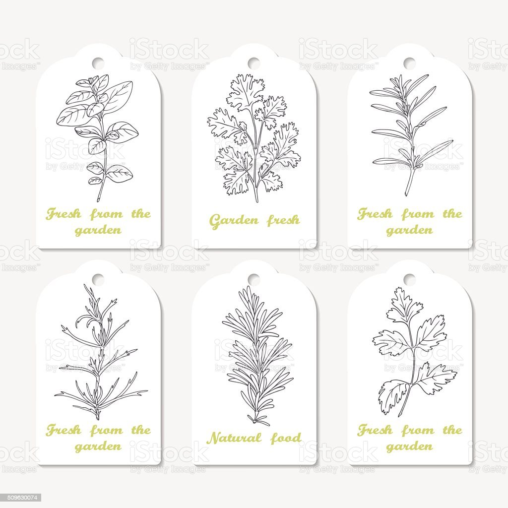 Tags collection with hand drawn spicy herbs oregano, cilantro, savory vector art illustration