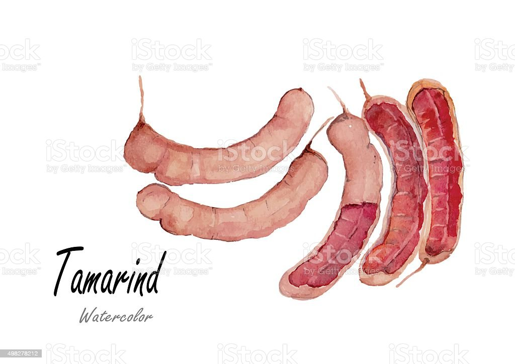 Tamarind.Hand drawn watercolor painting on white background.Vector illustration vector art illustration