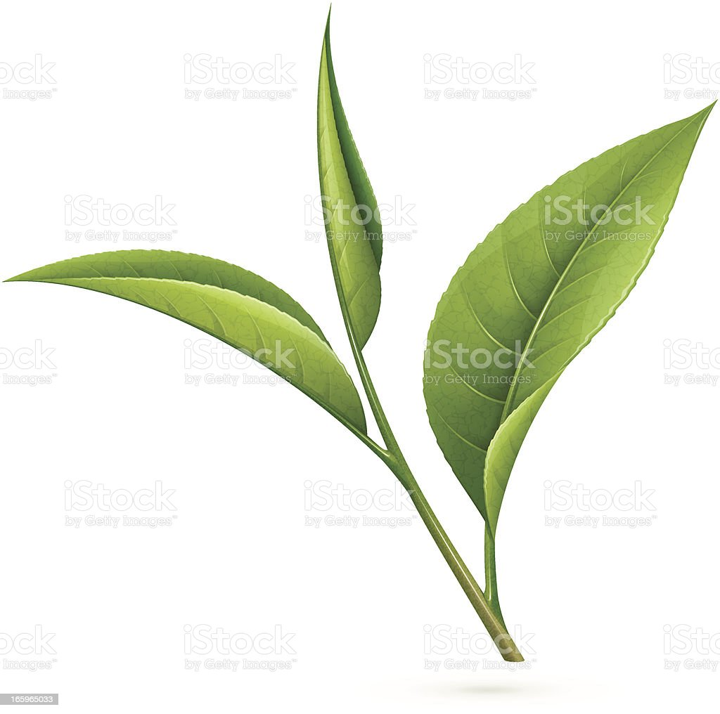 Tea leaves vector art illustration