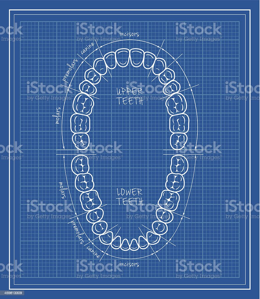 Teeth chart blueprint vector art illustration