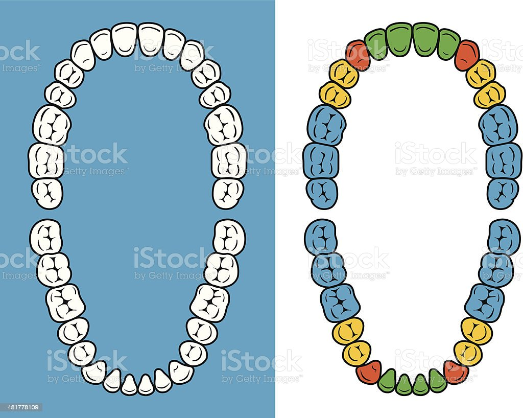 Teeth chart vector art illustration