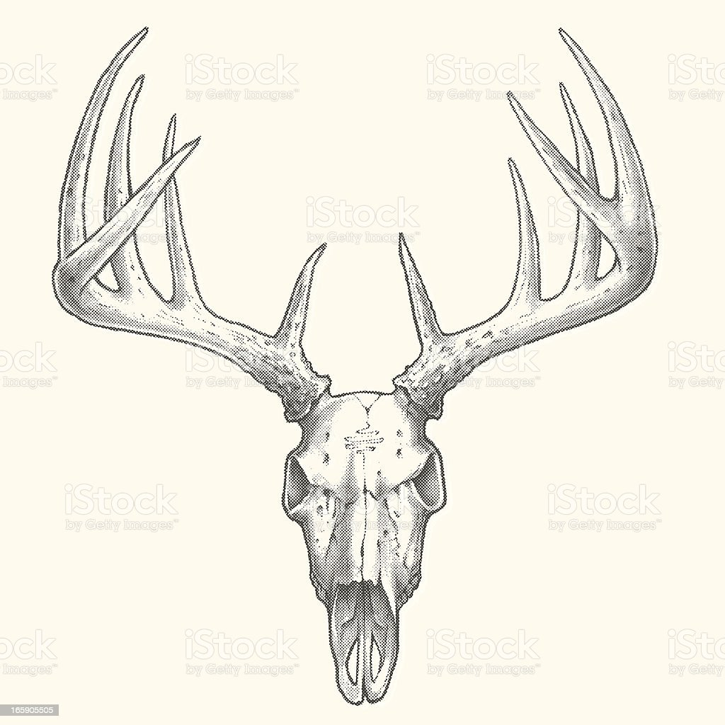 Ten Point Deer Skull vector art illustration