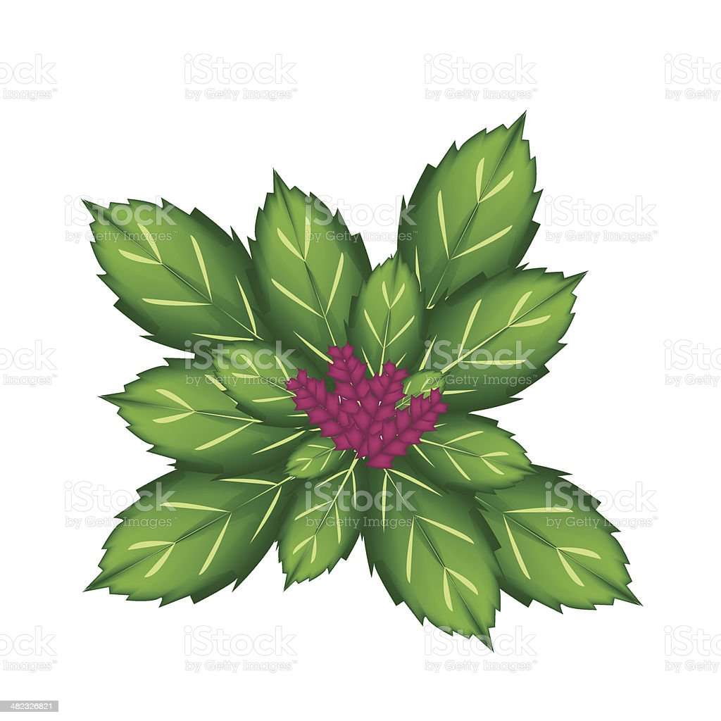 Thai Basil Plant on White Background royalty-free stock vector art