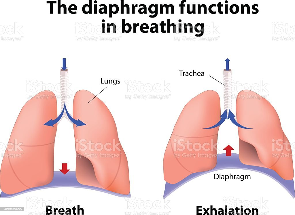 The diaphragm functions in breathing vector art illustration