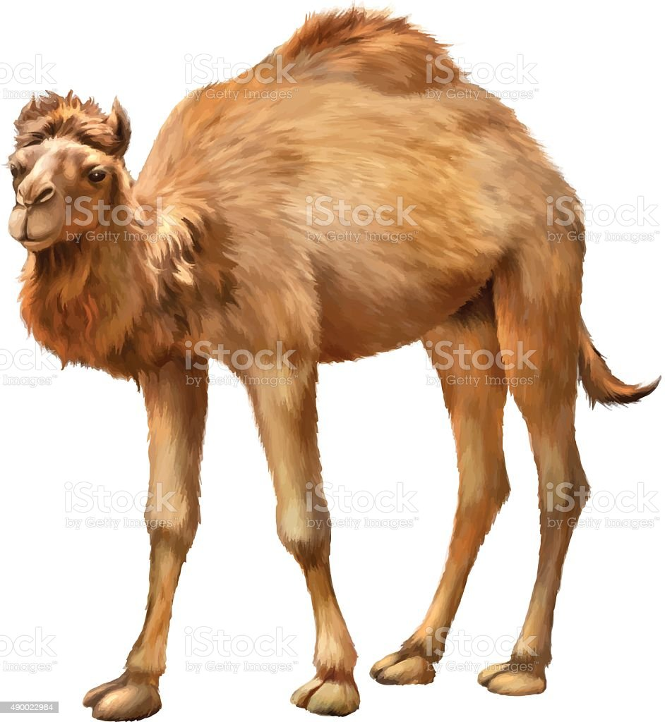 The domestic camel standing vector art illustration