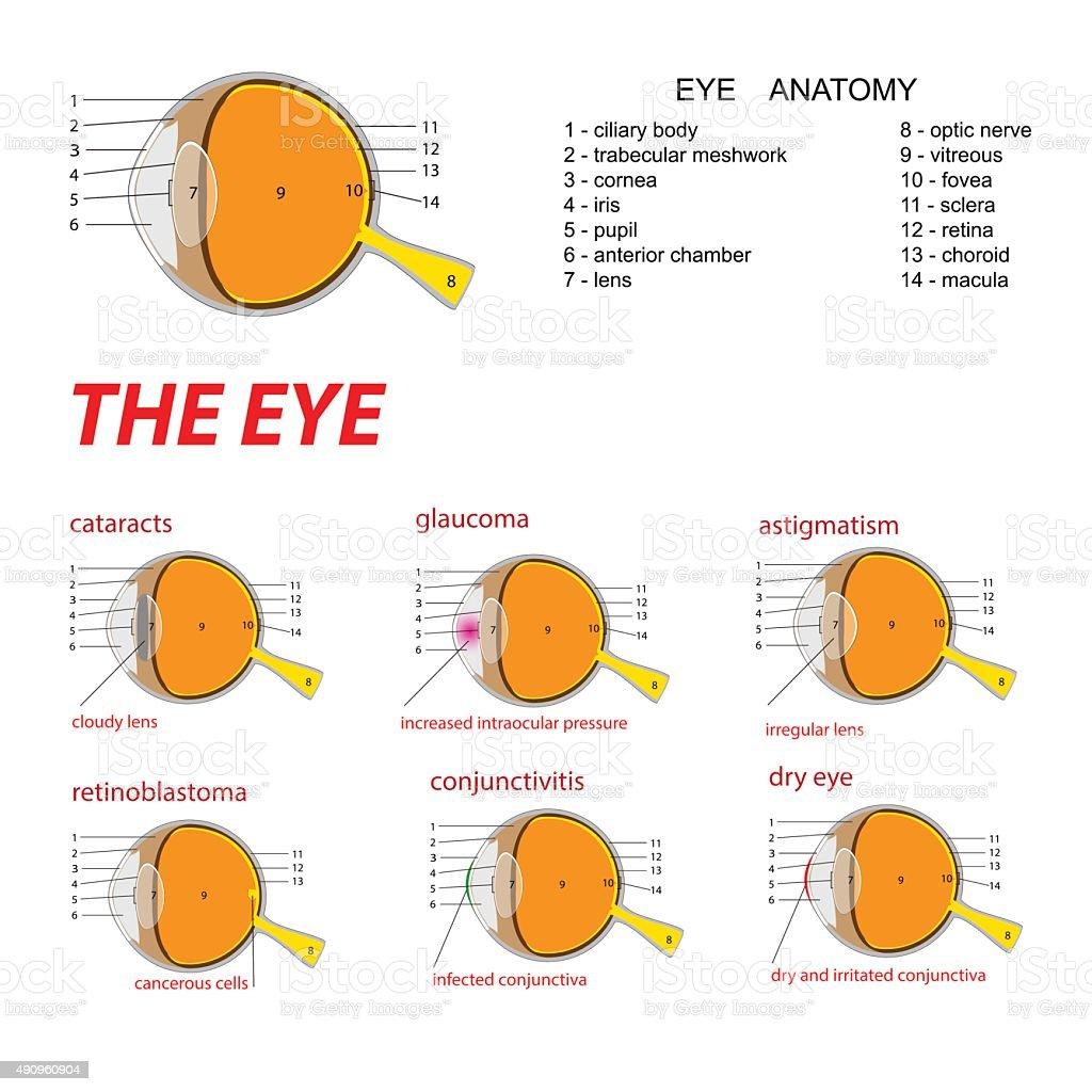the eye anatomy and diseases vector art illustration