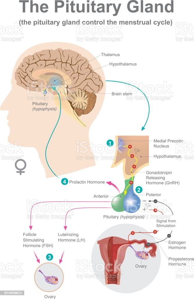 The pituitary gland women. vector art illustration