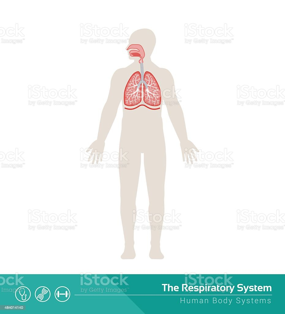 The respiratory system vector art illustration