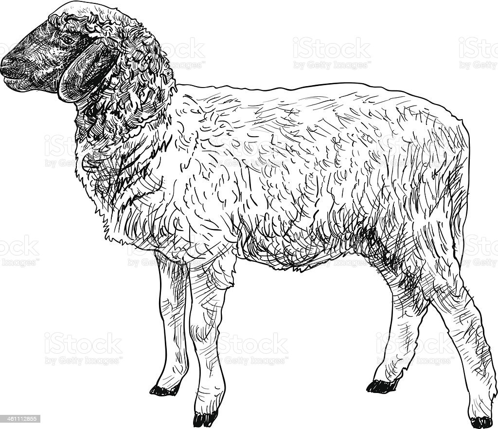 The side of young sheep royalty-free stock vector art