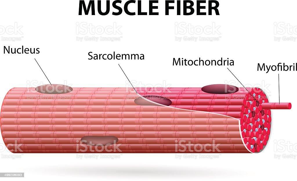 The skeletal muscle fiber vector art illustration