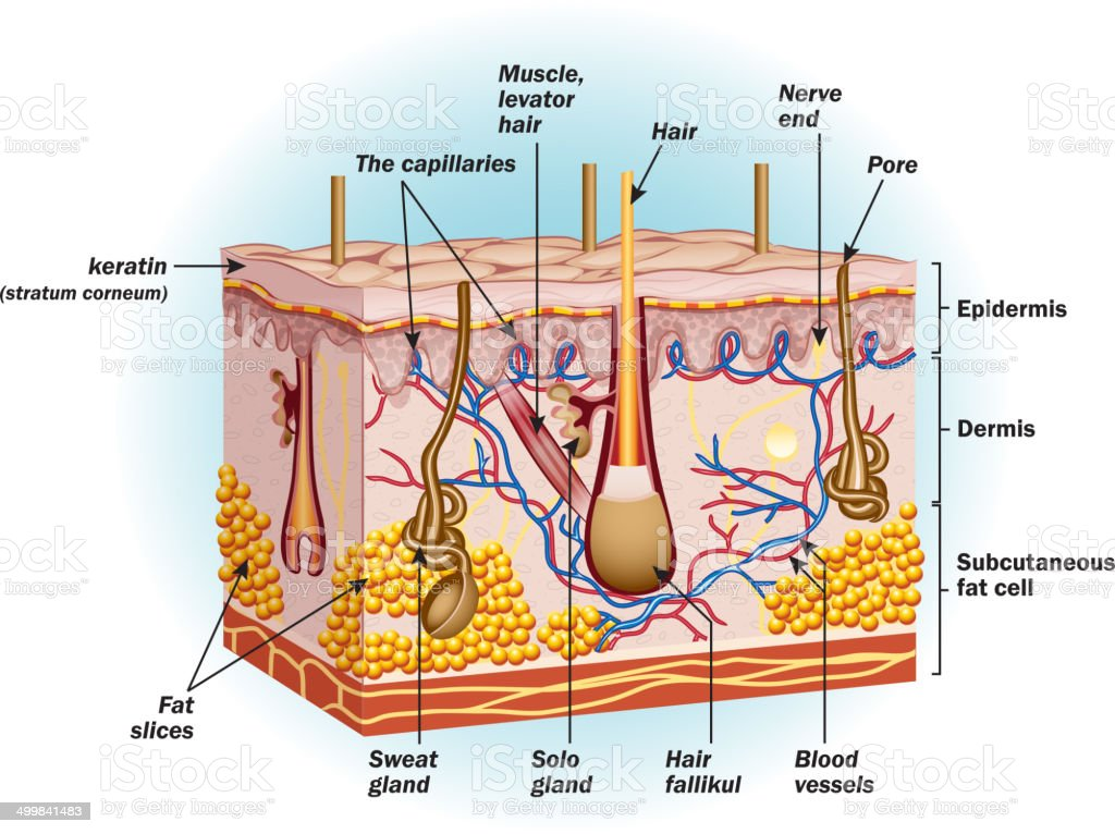 The structure of human skin cells vector art illustration