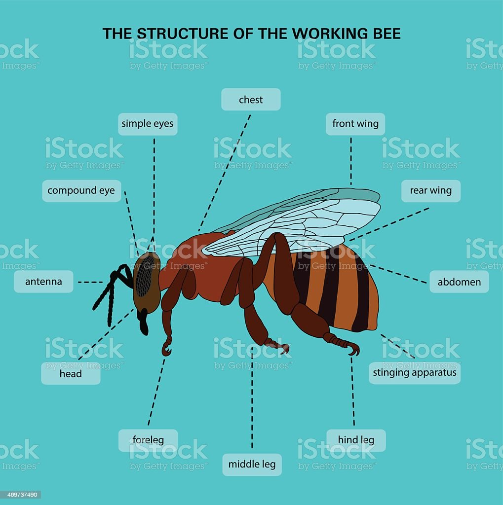 The structure of the working bee vector art illustration