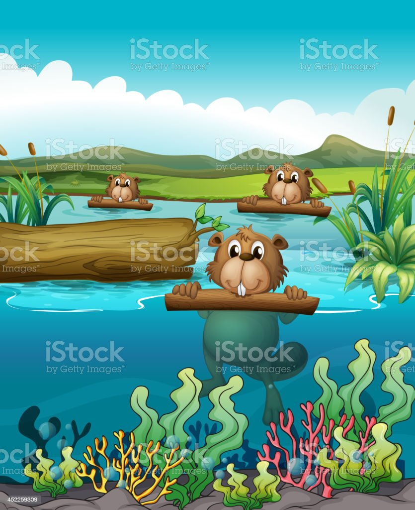 Three beavers in the river royalty-free stock vector art