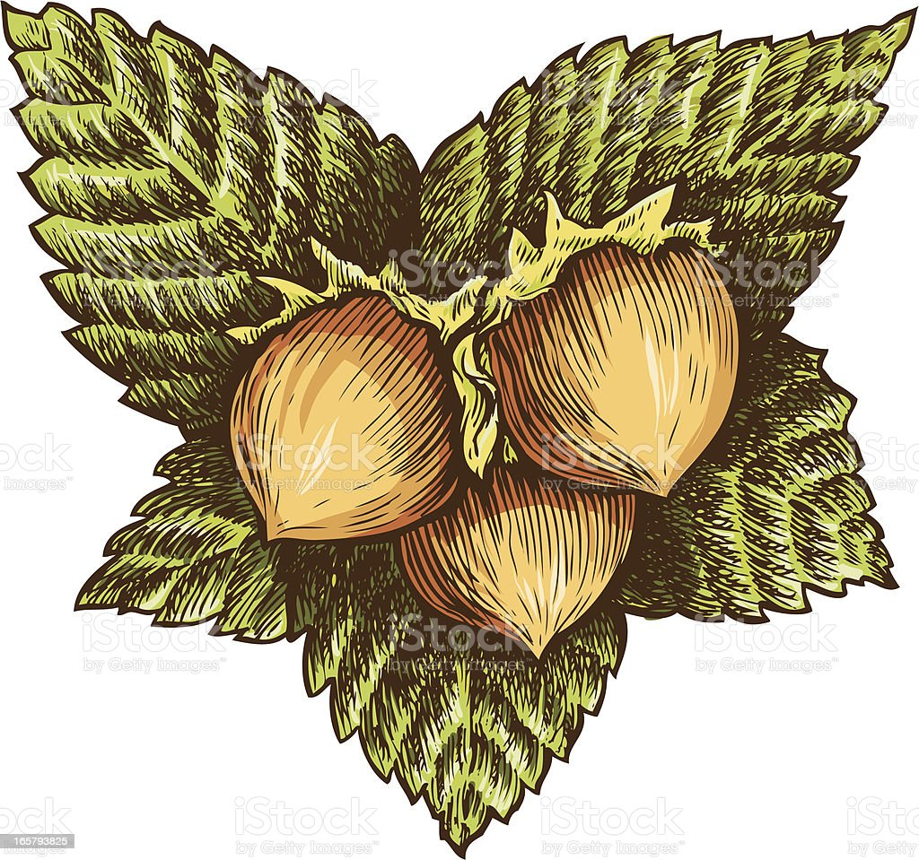 Three hazelnut vector art illustration