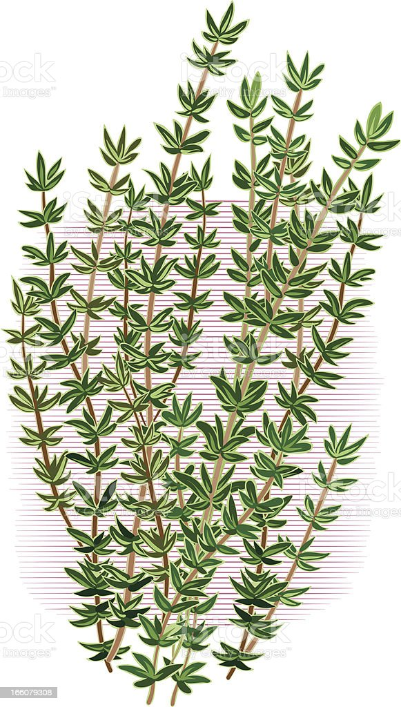 thyme vector art illustration