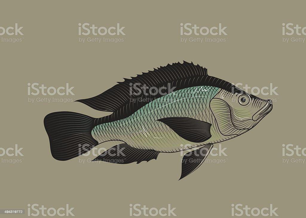 Tilapia fish. Vector vector art illustration